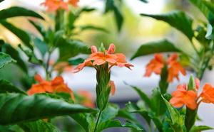 Цветок кассандра как ухаживать